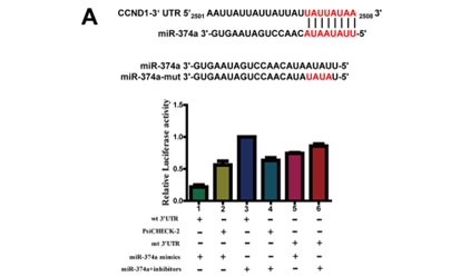 microRNA-374a suppresses colon cancer progression by directly reducing CCND1 to inactivate the PI3K/AKT pathway